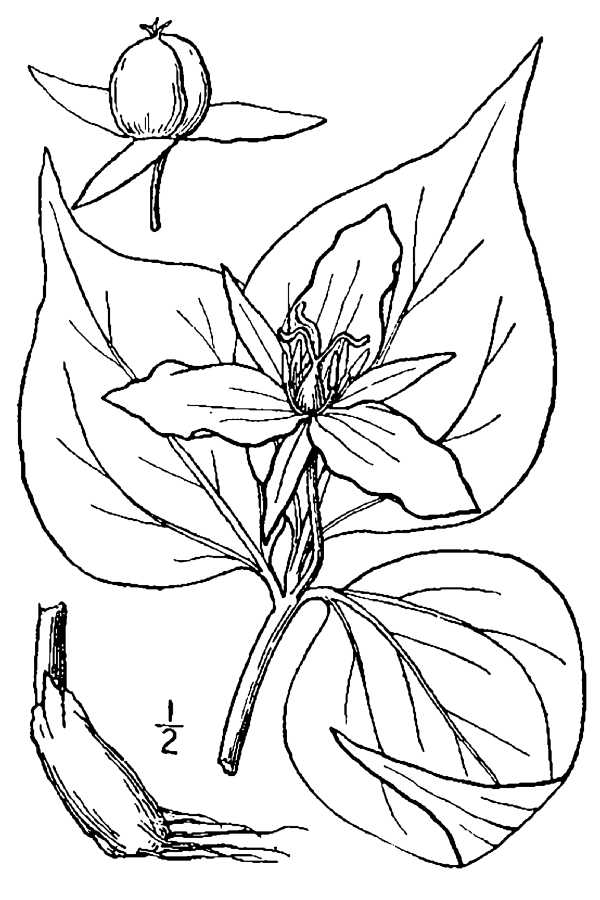 kentucky state flower large image for trillium undulatum painted trillium kentucky state flower