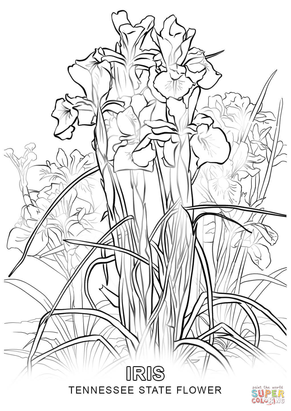 kentucky state flower tennessee state flower coloring page free printable flower state kentucky