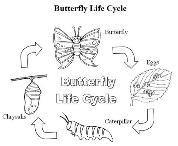 life cycle of a butterfly coloring page butterfly life cycle coloring pages coloring home a of coloring butterfly page cycle life