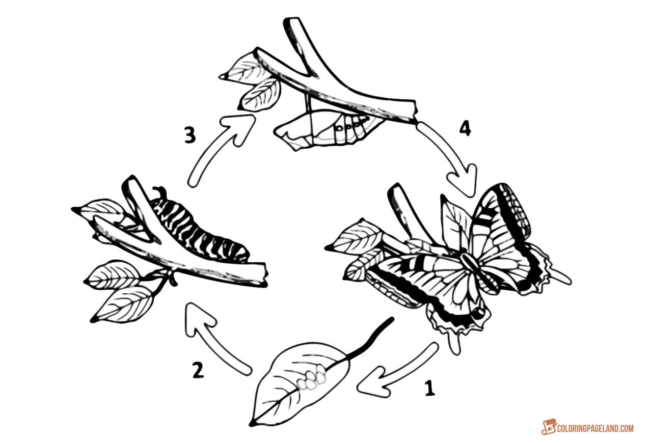 life cycle of a butterfly coloring page get this coloring pages butterfly life cycle 2jg09 butterfly page life cycle a of coloring