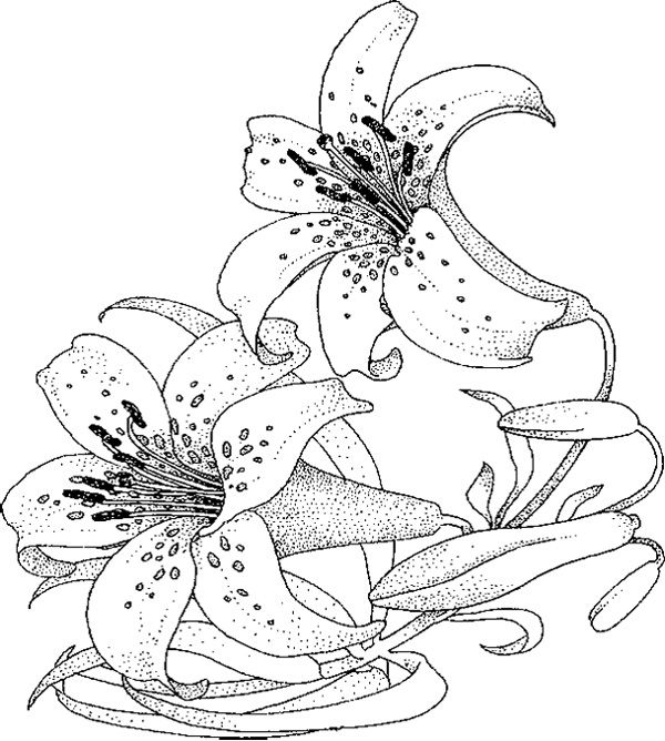 lily coloring pages beautiful desert lily coloring page free printable coloring lily pages