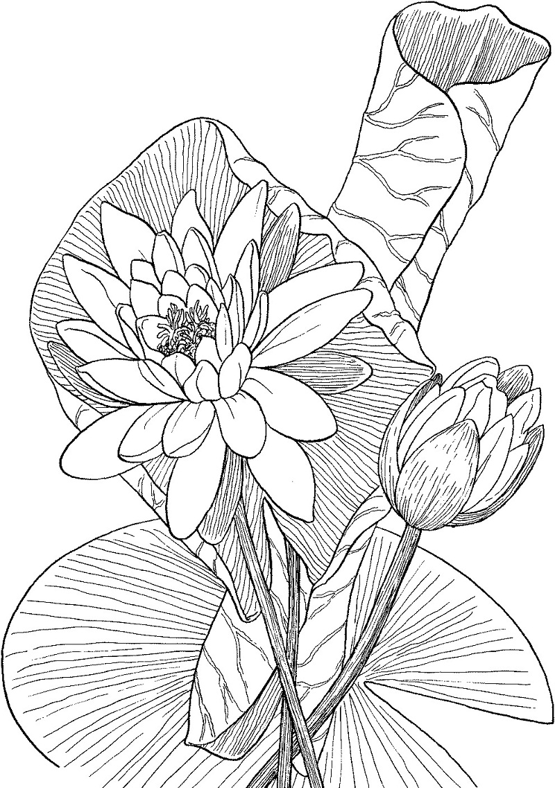 lily coloring pages sego lily coloring page free printable coloring pages pages coloring lily
