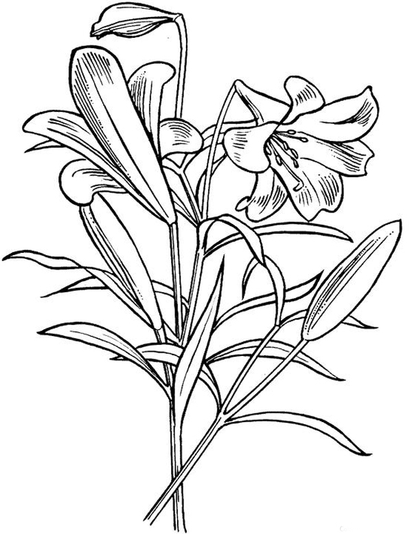 lily coloring pages tiger lily coloring page free printable coloring pages coloring lily pages