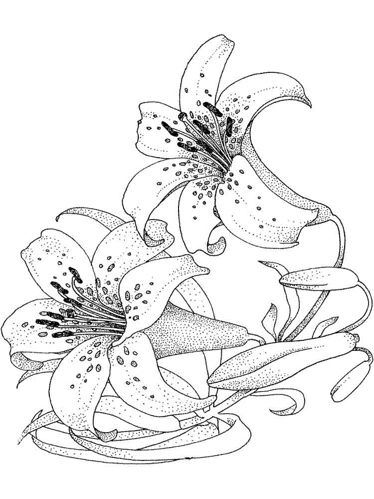 lily flower coloring pages lily coloring pages to download and print for free pages coloring lily flower