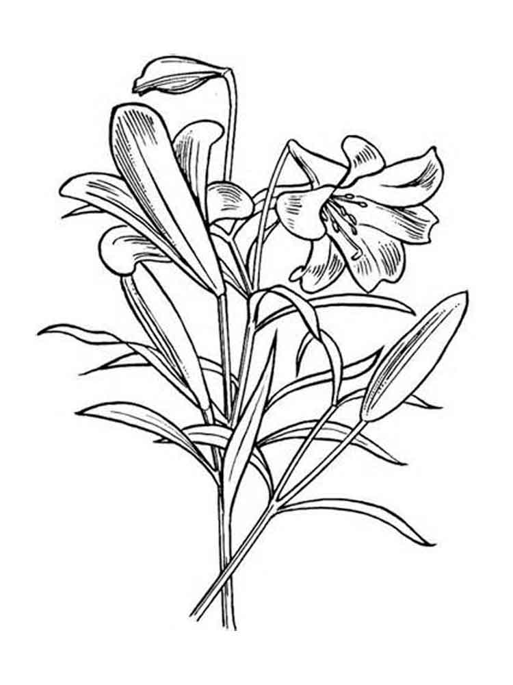 lily flower coloring pages lily flower coloring pages download and print lily flower pages coloring lily flower