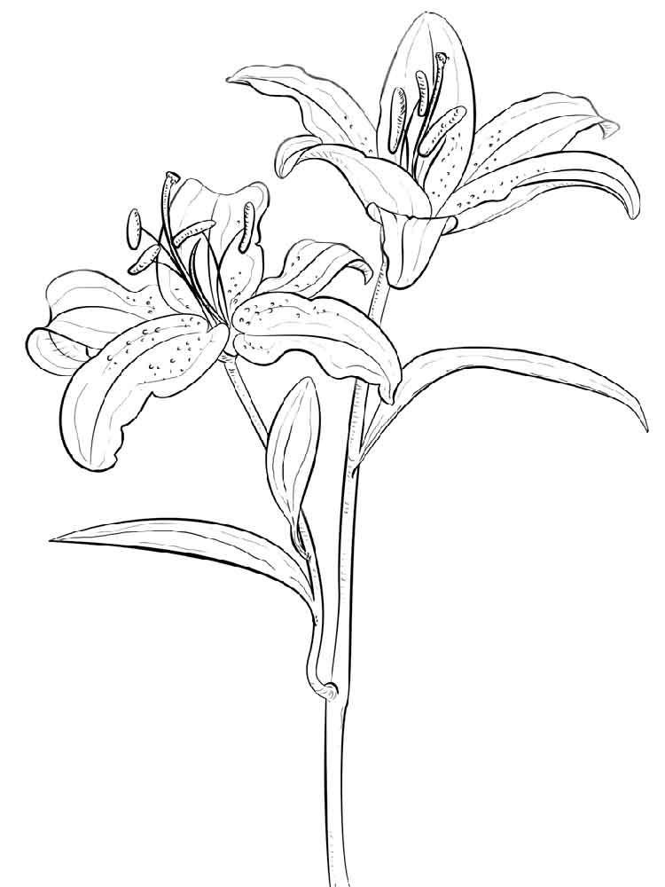 lily flower coloring pages lily flower coloring pages lily flower coloring pages