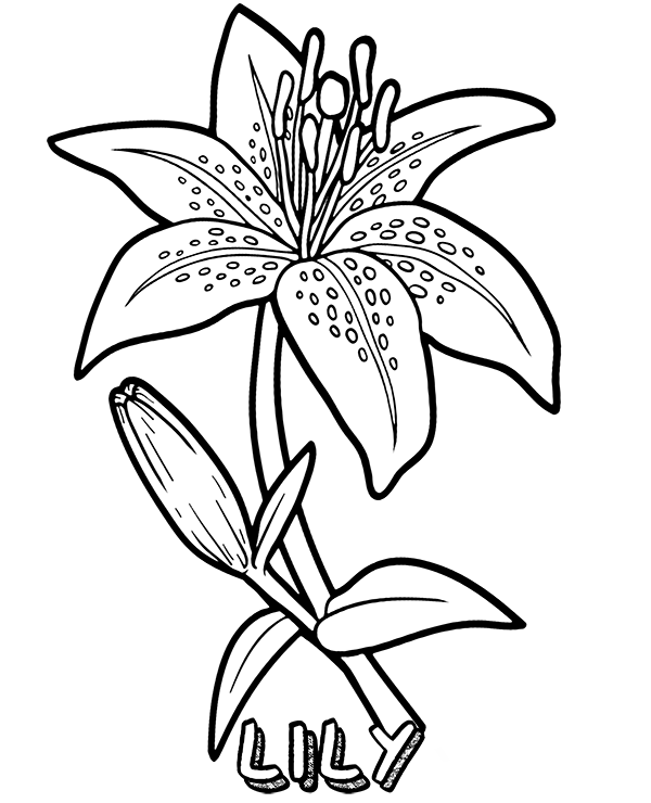 lily flower coloring pages lily flower line drawing at getdrawings free download coloring lily flower pages