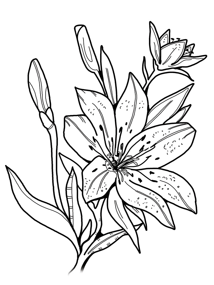 lily flower coloring pages sego lily coloring page free printable coloring pages pages coloring flower lily
