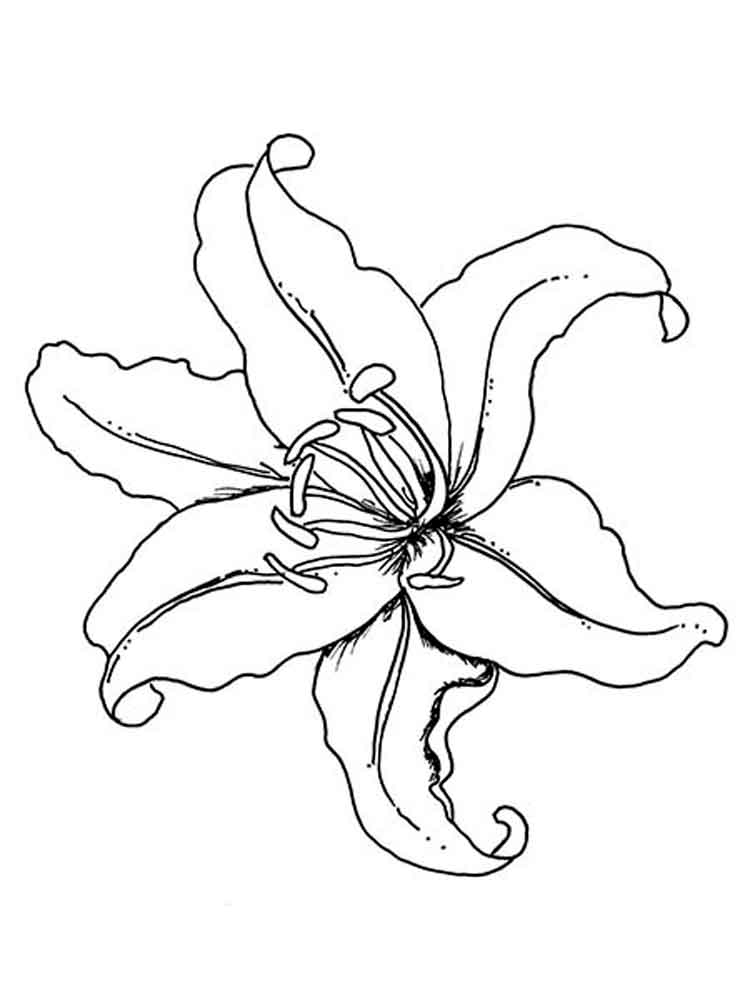 lily flower coloring pages white lilies drawing at getdrawings free download coloring flower lily pages