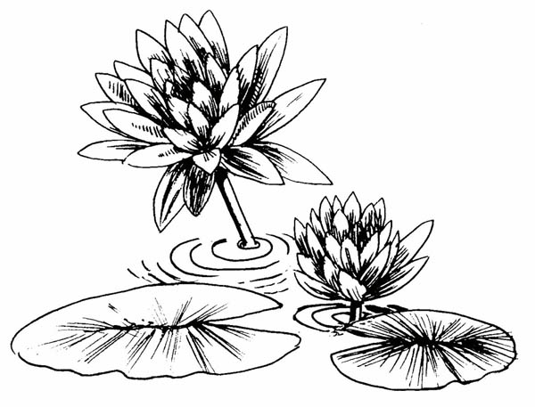 lily pad coloring page lily pad flower coloring pages coloring home lily pad coloring page