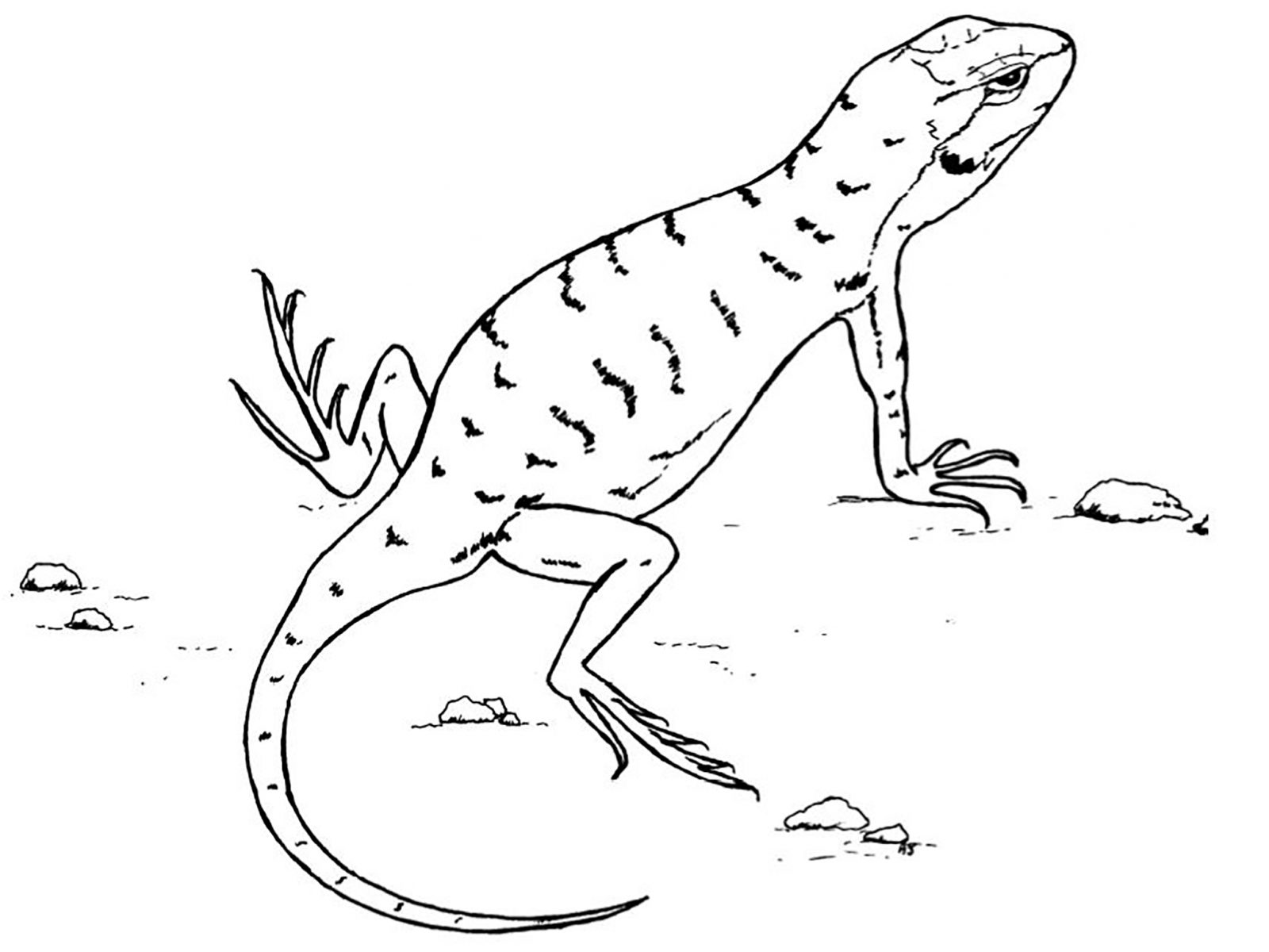 lizard coloring page free lizard coloring pages coloring lizard page
