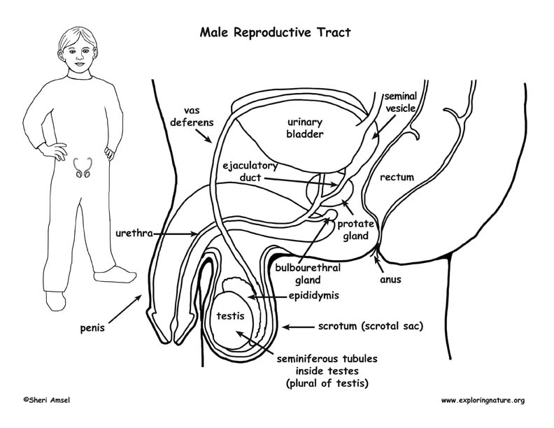 male reproductive system worksheet 30 male reproductive system quiz label labels database 2020 reproductive worksheet male system