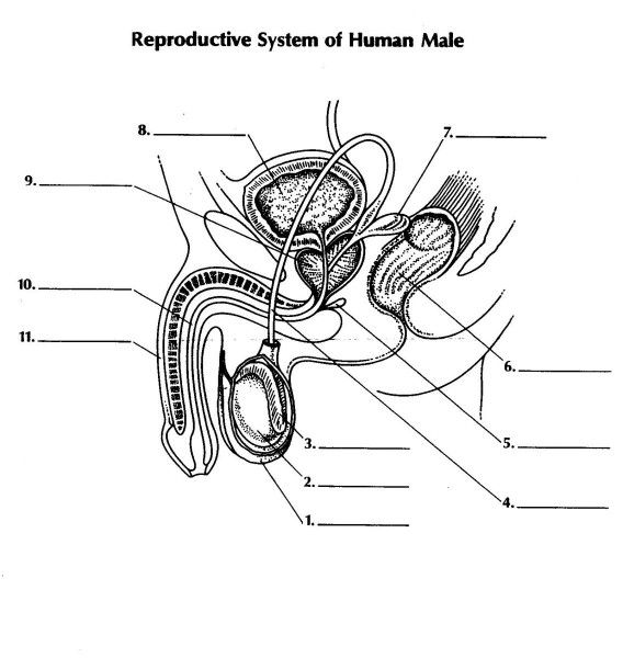 male reproductive system worksheet male anatomy diagram human internal organ stock male system worksheet reproductive