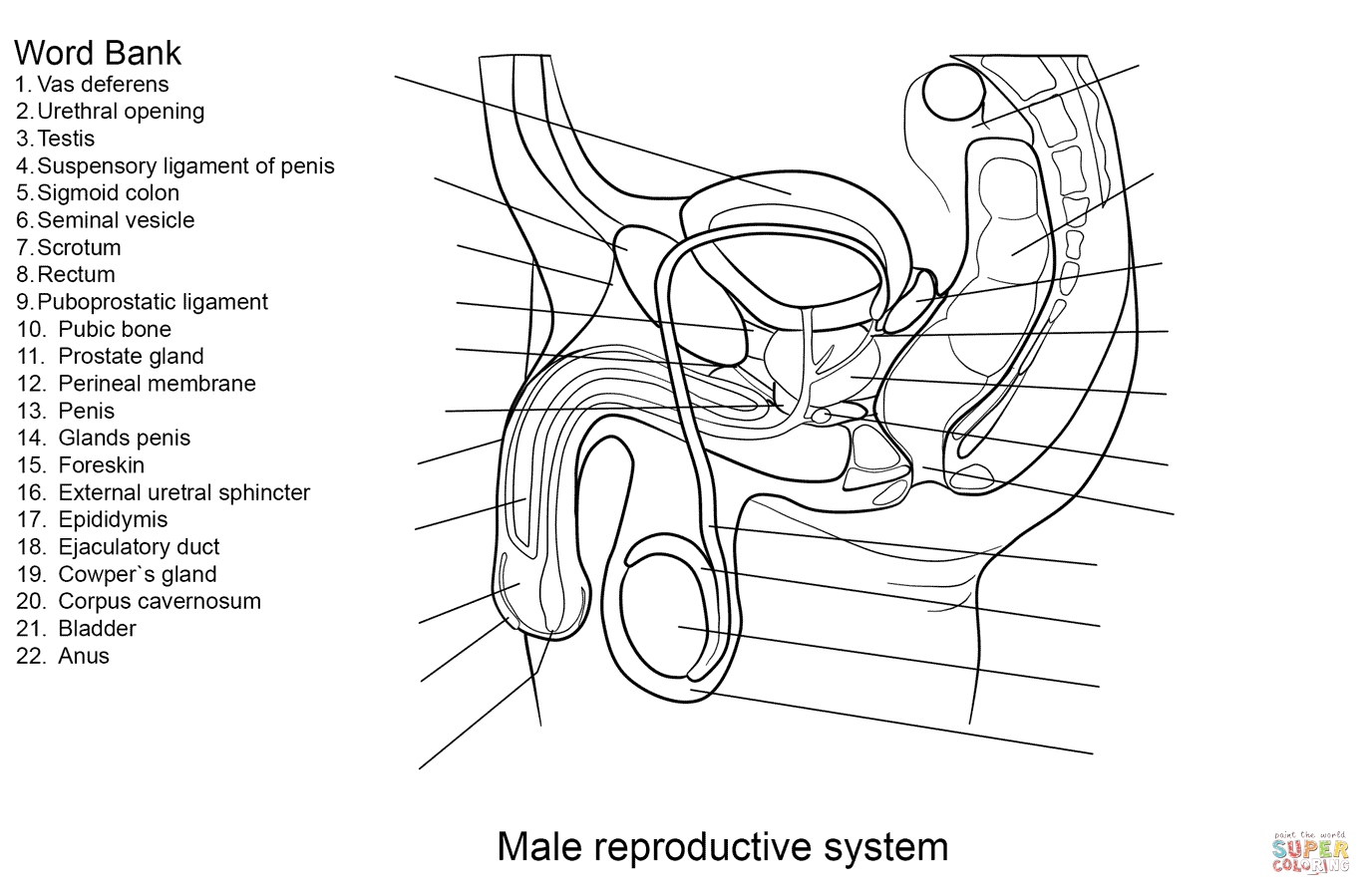 male reproductive system worksheet male reproductive worksheet printable worksheets and reproductive worksheet male system