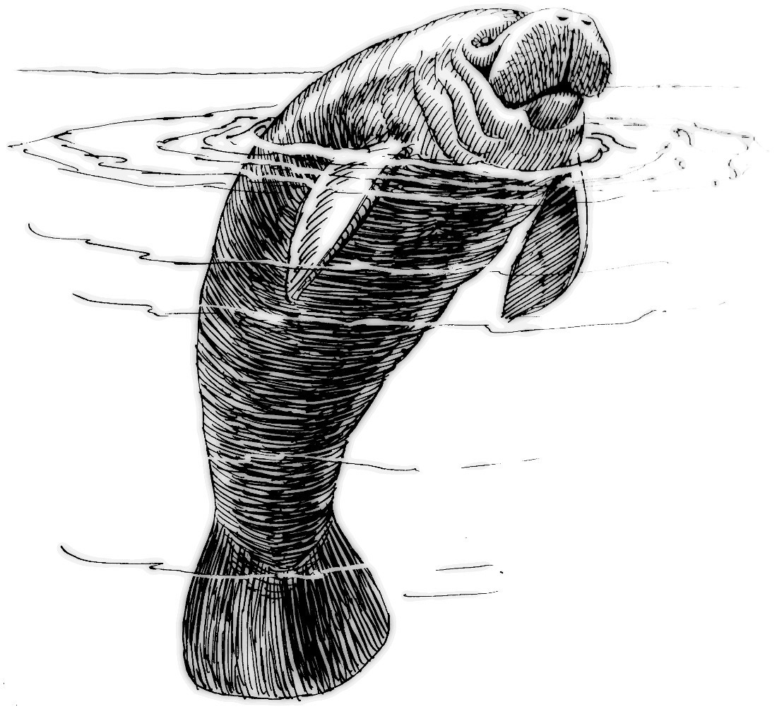 manatee drawing best manatee clip art 6159 clipartioncom drawing manatee