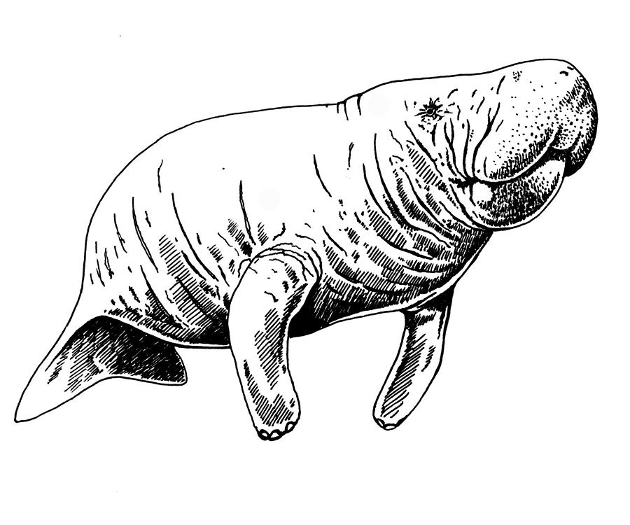 manatee drawing image result for manatee tattoo drawings tattoo designs drawing manatee