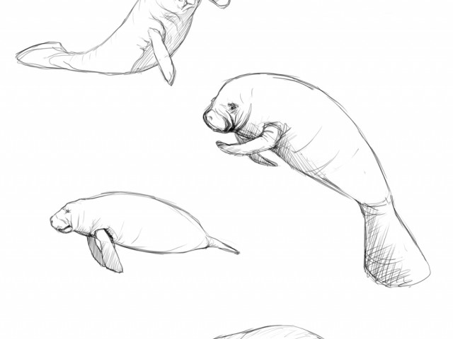 manatee drawing sodium39s art medieval fantasy minecraft roleplaying manatee drawing