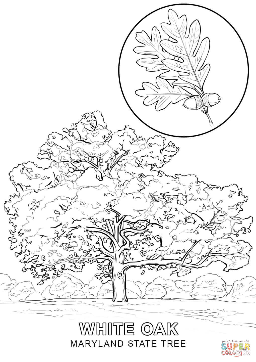 maryland state tree maryland state tree coloring page thousand of the best tree maryland state