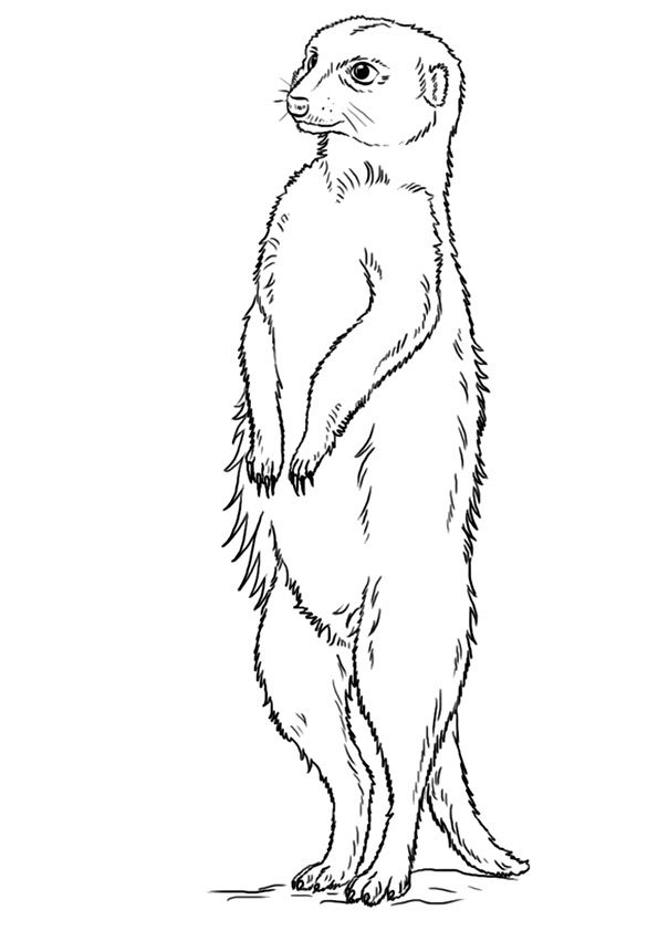 meerkat pictures to colour how to draw a meerkat for kids step by step animals for pictures to meerkat colour
