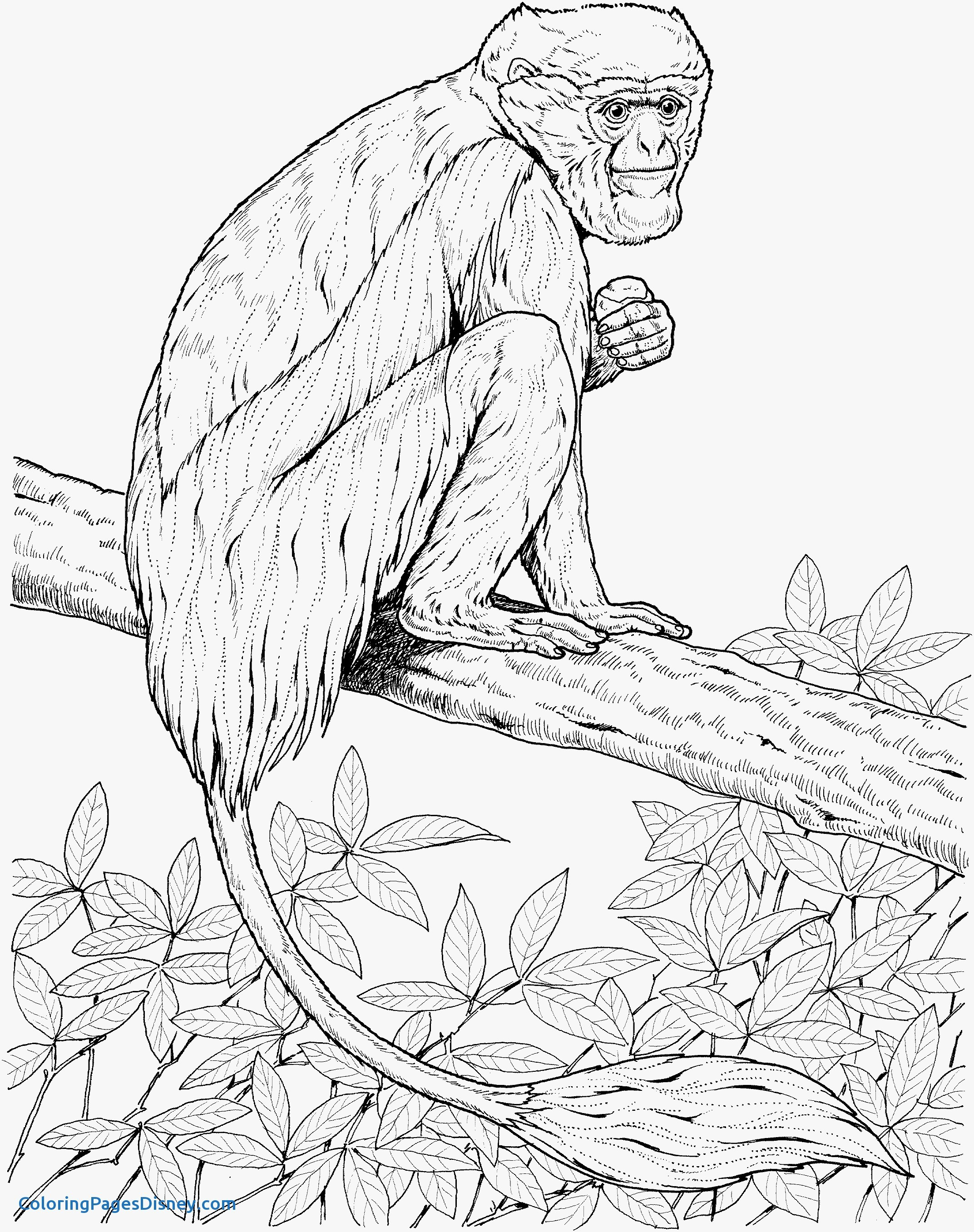 meerkat pictures to colour meerkat coloring page at getdrawings free download pictures to meerkat colour
