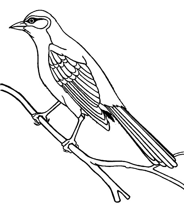 mockingbird coloring page perched northern mockingbird coloring page free page coloring mockingbird