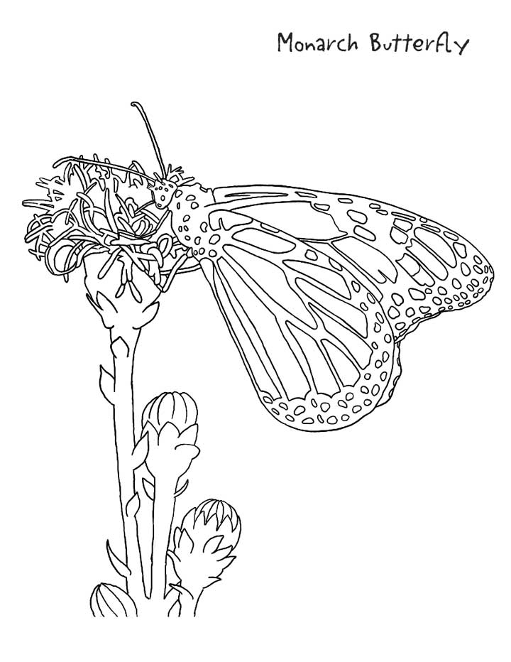 monarch butterfly coloring page monarch butterfly coloring pages to print free coloring monarch page coloring butterfly