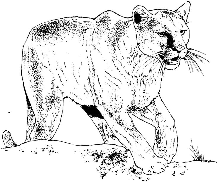mountain lion coloring pages tpwd kids color the west texas mountain lions pages lion mountain coloring