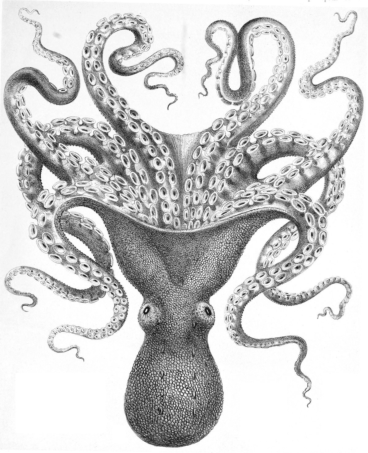 octupus drawing octopus clipart etc drawing octupus