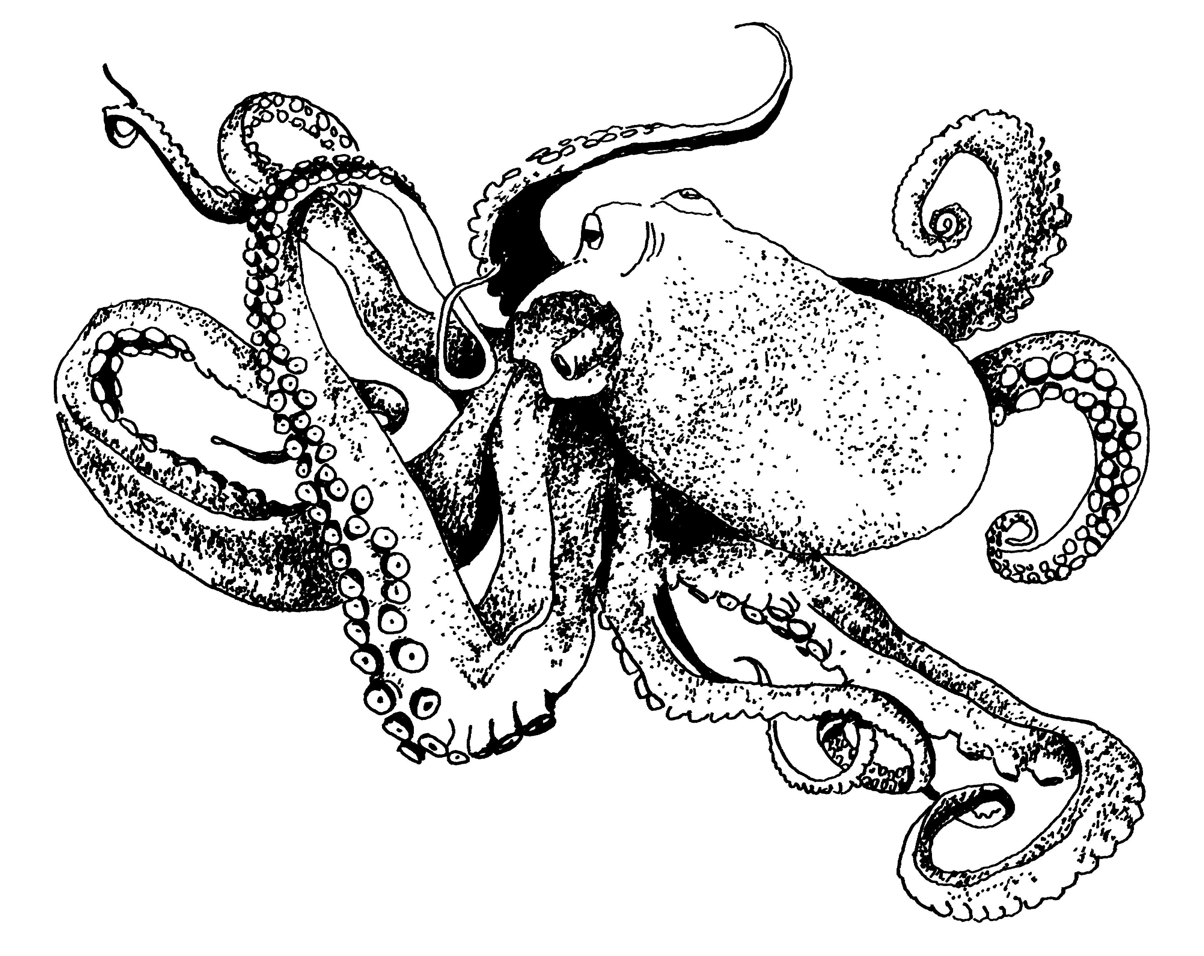 octupus drawing octopus drawing by lael johnson octupus drawing