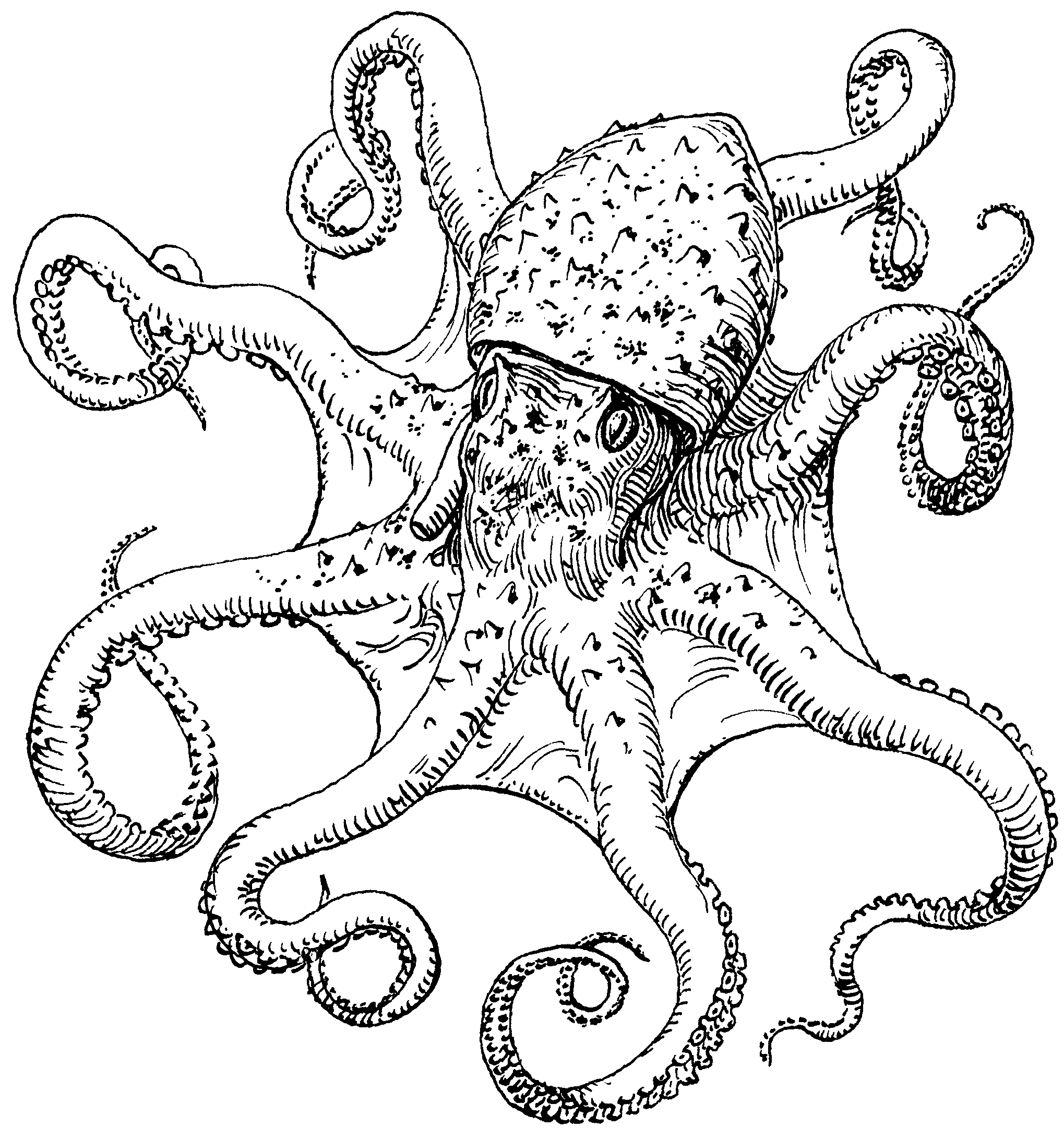 octupus drawing octopus on pinterest octopus sketch octopus tattoos and drawing octupus