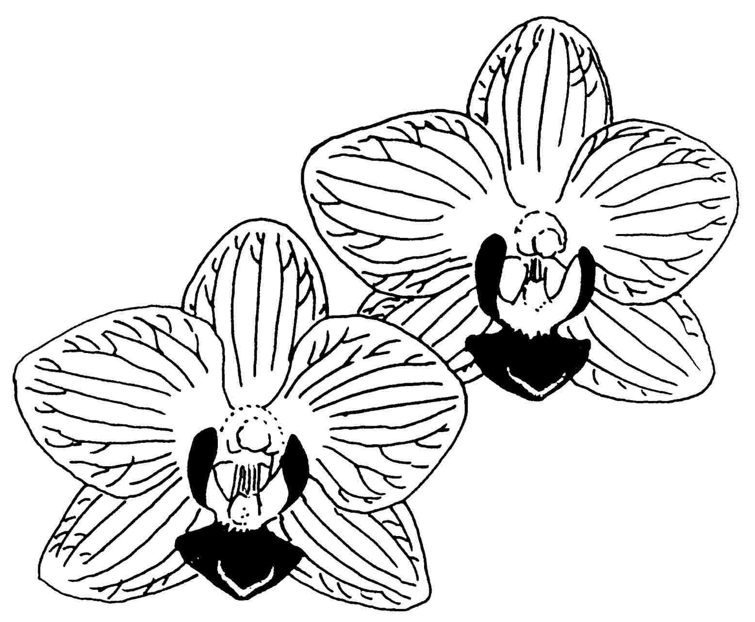 orchids drawings cattleya orchid drawing at getdrawings free download orchids drawings