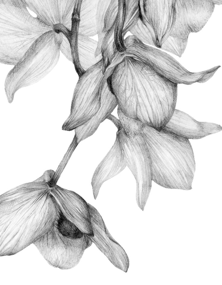 orchids drawings orchid by tashitam on deviantart drawings orchids