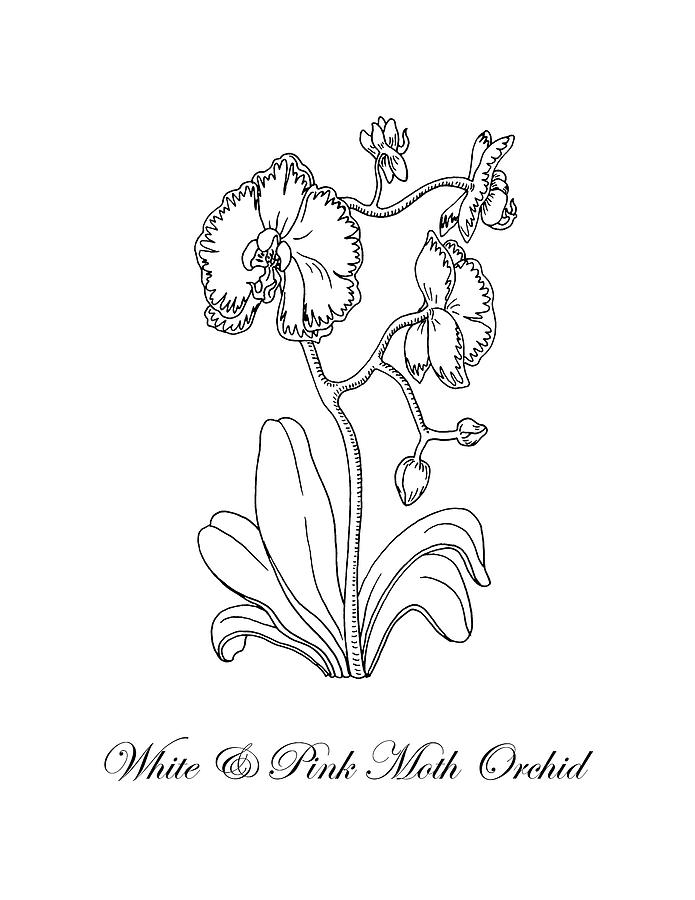 orchids drawings orchid drawing free download on clipartmag drawings orchids