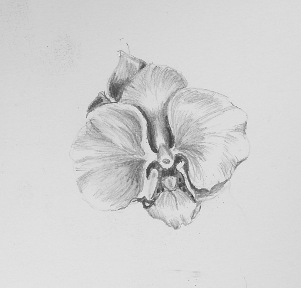 orchids drawings orchid flower botanical drawing black and white drawing by drawings orchids