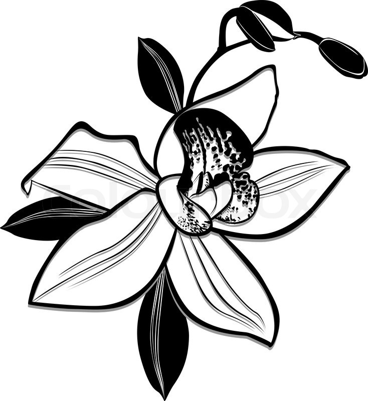 orchids drawings orchid paphiopedilum myitkyina orchid drawing by m valeriano drawings orchids