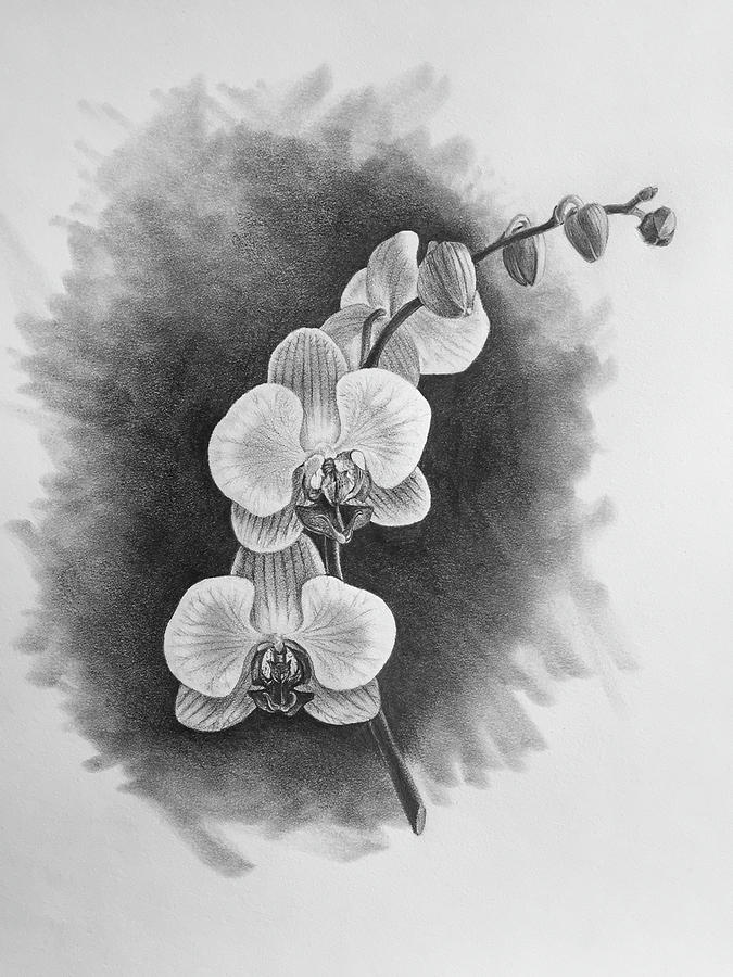 orchids drawings phalaenopsis orchid sarah horne botanicals orchids drawings