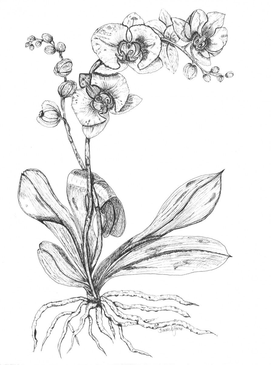 orchids drawings white orchid drawing free download on clipartmag drawings orchids