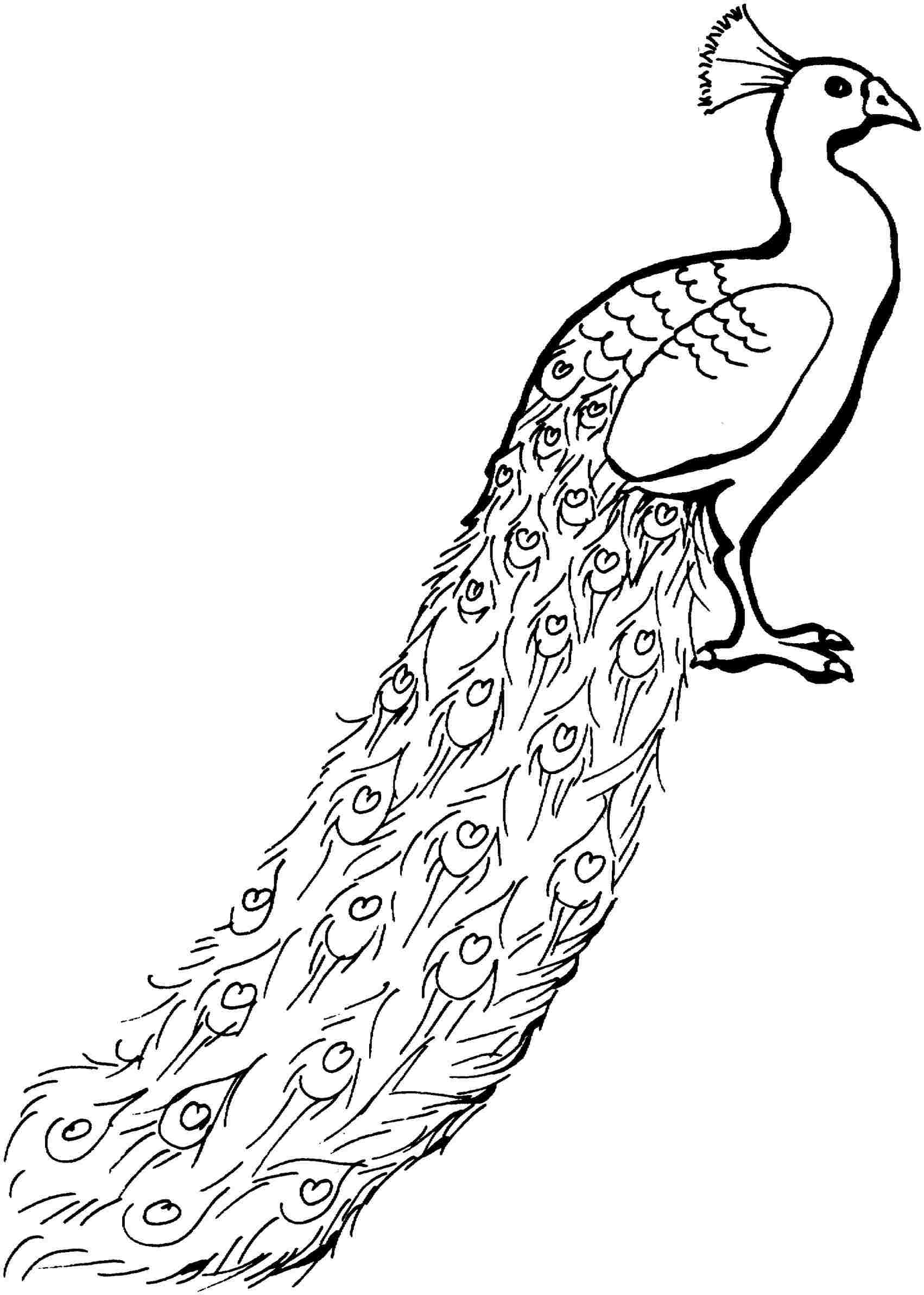 outline picture of a peacock peacock drawing outline at paintingvalleycom explore outline peacock of a picture