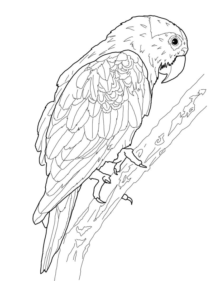 parrot to colour 25 cute parrot coloring pages your toddler will love to color to colour parrot