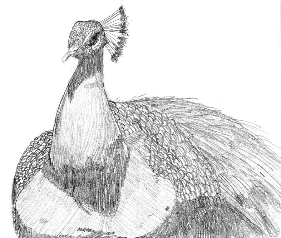 peacok drawing peacock drawing with images peacock drawing drawings drawing peacok