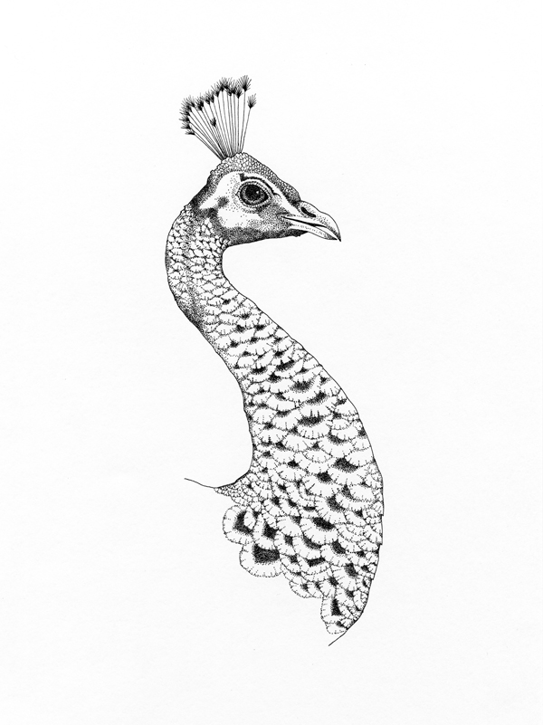 peacok drawing peacock illustration drawing elena paraschiv peacok drawing