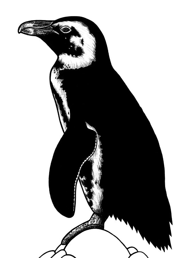 penguin drawing galapagos penguin pencil drawing how to sketch galapagos drawing penguin