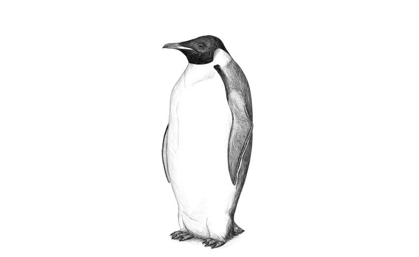 penguin drawing humboldt penguin drawing by craig carlson drawing penguin