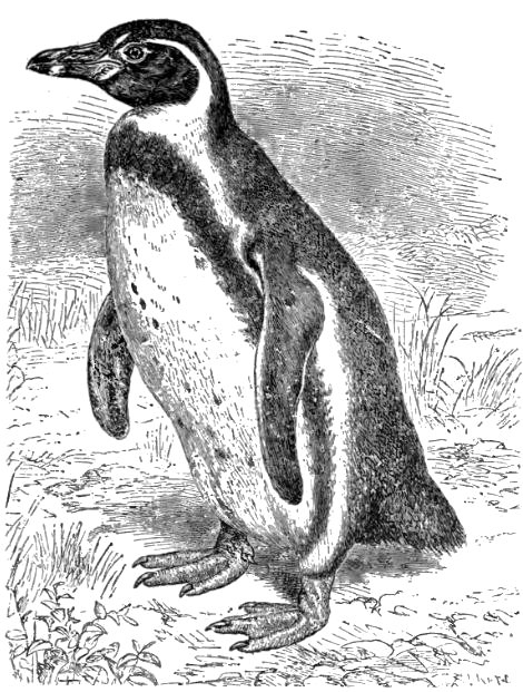 penguin drawing penguin baby by bolbec on deviantart penguin drawing