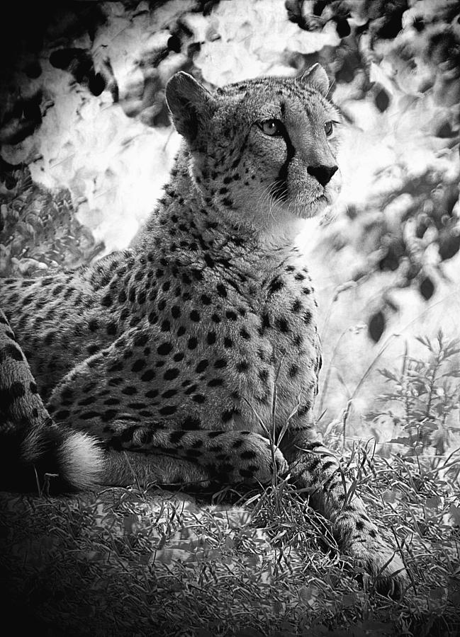 picture of a cheetah 10 best cheetah face images cheetah face face cheetah picture cheetah of a