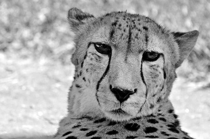 picture of a cheetah 2725 cheetah face photos free royalty free stock cheetah picture a of