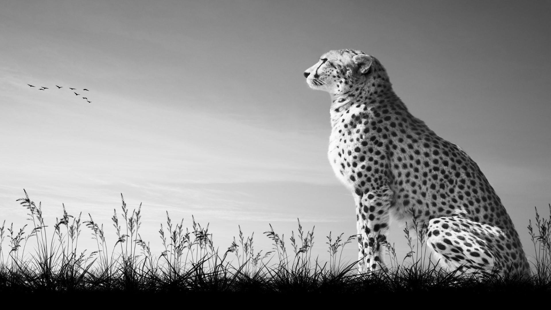 picture of a cheetah 66 black cheetah wallpapers on wallpaperplay picture a cheetah of