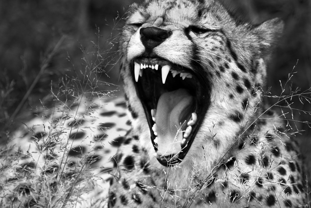picture of a cheetah black cheetah wallpapers 75 background pictures cheetah picture a of