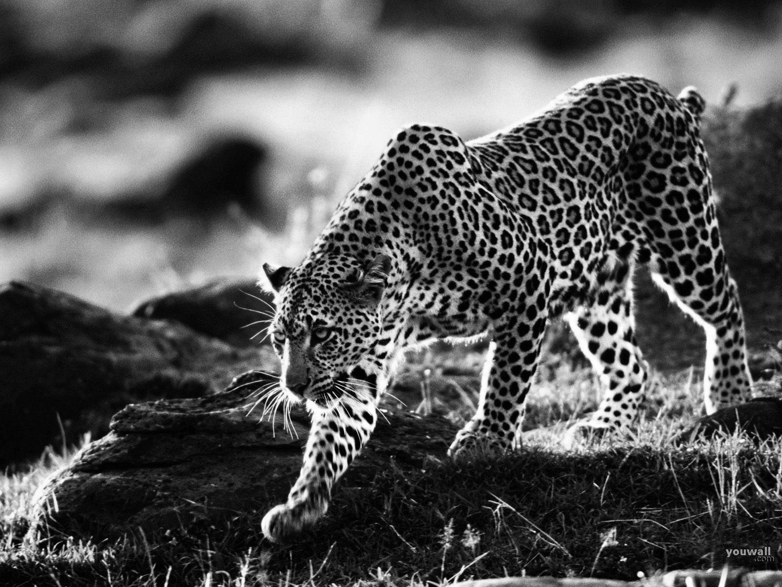 picture of a cheetah black cheetah wallpapers top free black cheetah picture a cheetah of