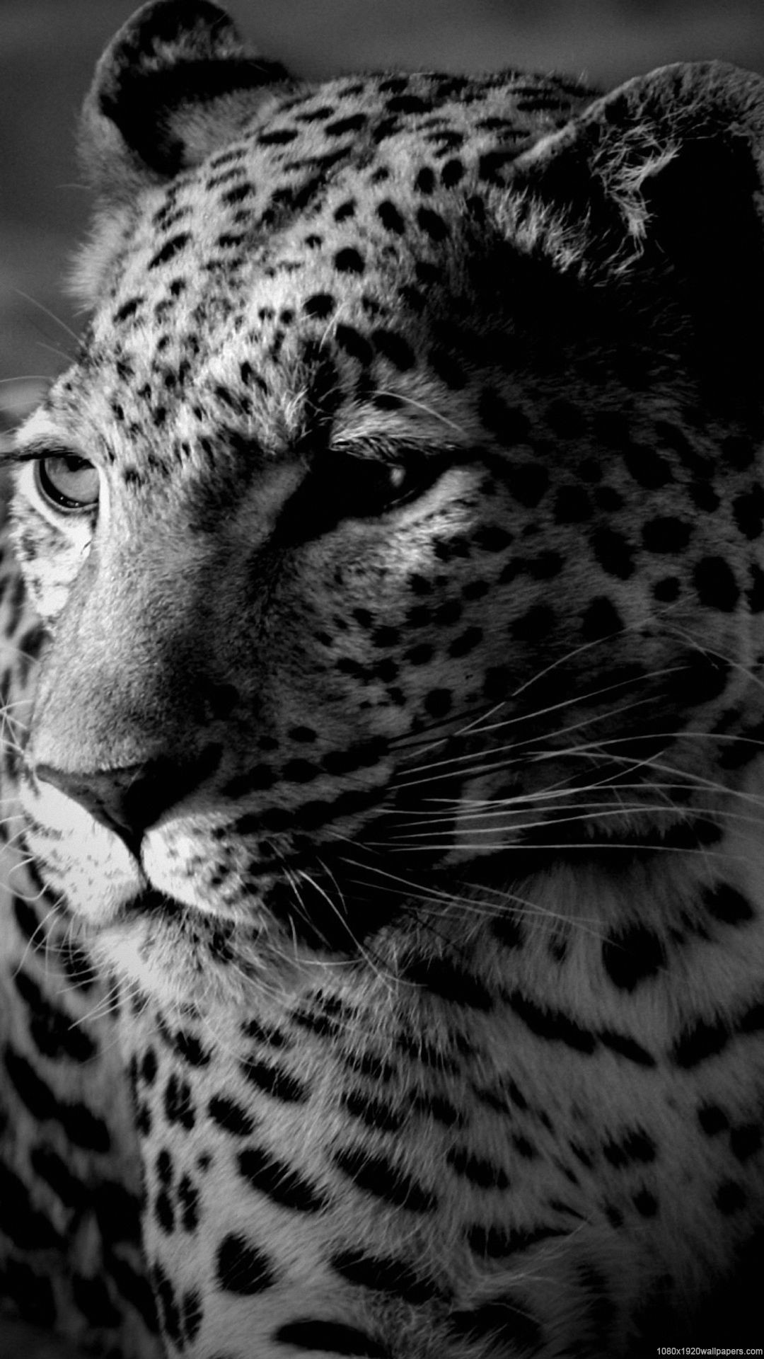 picture of a cheetah black cheetah wallpapers wallpaper cave of a picture cheetah